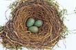 canvas print picture - Eier einer Amsel in einem Vogelnest