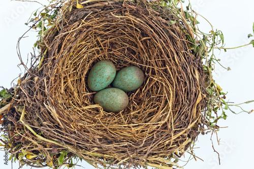 canvas print picture Eier einer Amsel in einem Vogelnest