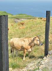 Vaca Isla 5620