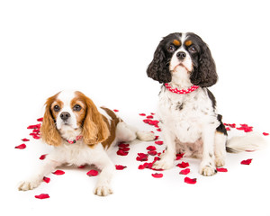 Two king charles spaniel cavalier sitting with roses