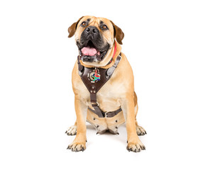 Picture of a Boerboel, south African Mastiff