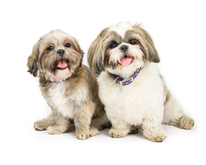Picture of two shih tzus sat next to each other
