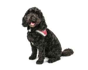 Picture of a Black Cockapoo on a white background.