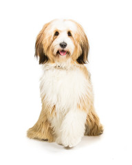 Tibetan Terrier sitting on a white background