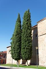 Cyprès verts et ciel bleu devant un mur de pierre.