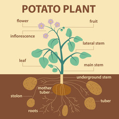 illustration parts of potato - infographic potatoes scheme