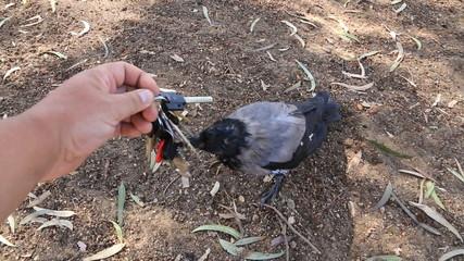 funny crow