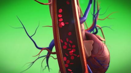 blood, erythrocyte