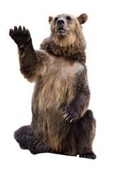 Позирующий Бурый медведь