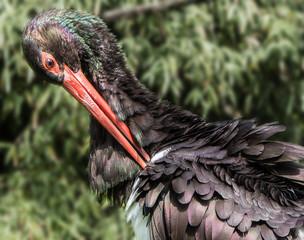 Schwarzer Storch - Cicogna nera - Ciconia nigra