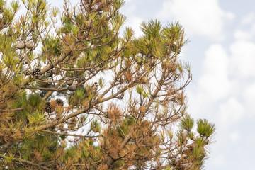 Pine and Bird