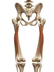muscle anatomy - the biceps femoris long head
