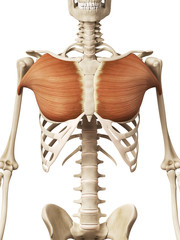 muscle anatomy - the pectoralis major