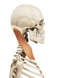 muscle anatomy - the sternocleidomastoid poster