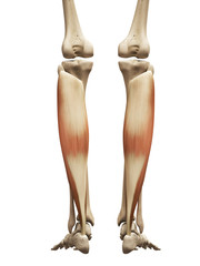 muscle anatomy - the soleus