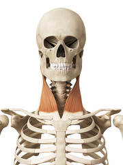 muscle anatomy - the sternocleidomastoid