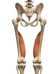 muscle anatomy - the vastus medialis