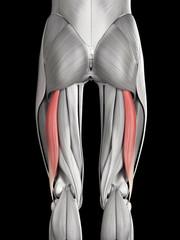human muscle anatomy - biceps femoris long head