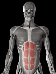 human muscle anatomy - rectus abdominis