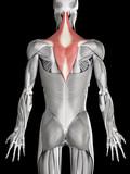human muscle anatomy - trapezius poster