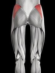 human muscle anatomy - gluteus medius