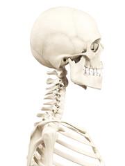 medical 3d illustration of the human skull