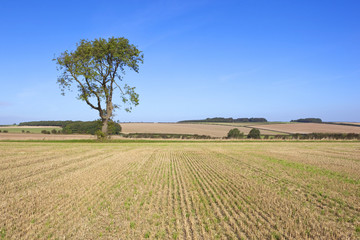 farmland ash tree