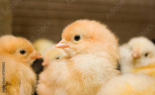 Poster Kip Chicken broilers. Poultry farm