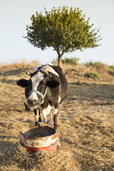 One cow stand alone on traditional free range poultry farm