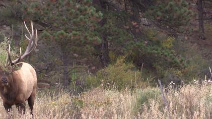 Bull Elk Bugling Half Hidden