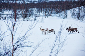 Reindeer. Norway, Scandinavia