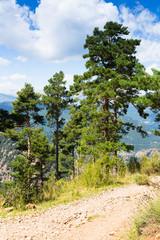 pine trees at mountains