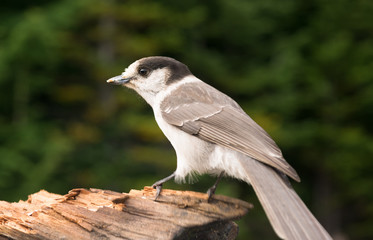 Grey Jay Whiskey Jack Bird Watching Animal Wildlife