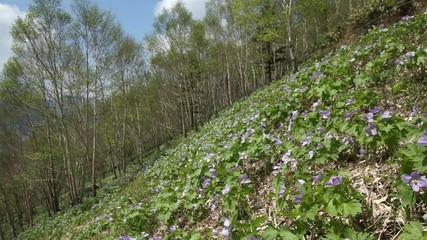 斜面に咲くシラネアオイの群生