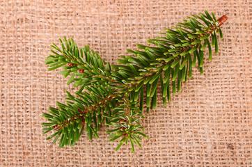 Pine branch on sackcloth