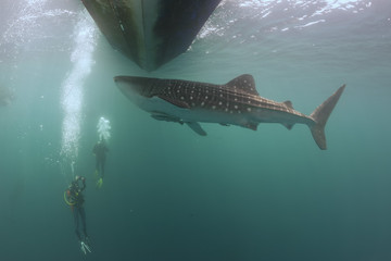 Whale Shark underwater approaching a scuba diver
