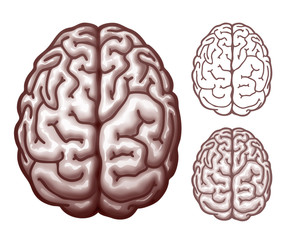 Brain. Top view