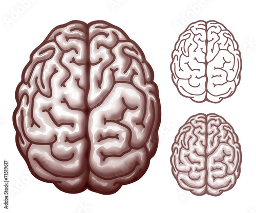 brain top view vector - photo #12