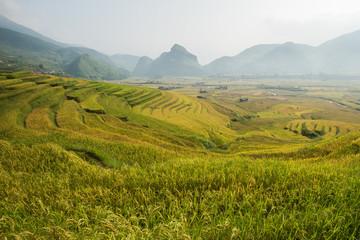 Golden rice field in Vietnam.