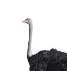 Top of Ostrich on white background