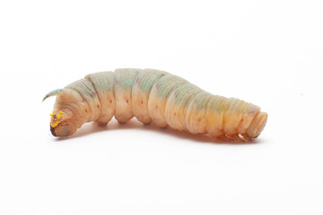 death's head hawkmoth caterpillar