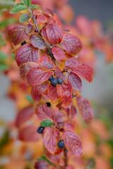 branch chokeberry