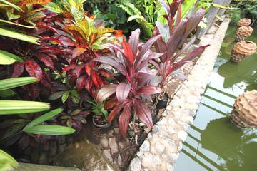 Big vinous (red) tropical flowers in pots in the botanic garden