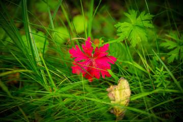 wunderschönes rotes Blatt