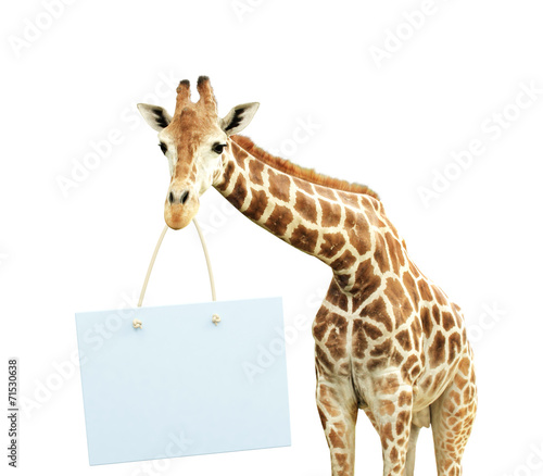Giraffe with signboard