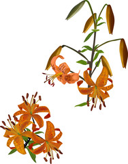 orange spotted lily flowers illustration on white