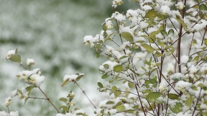 Bush of Snowberry under snowfall in early winter