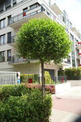 Prunus x eminens Umbraculifera in the town