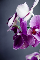 Violet orchid on a dark background
