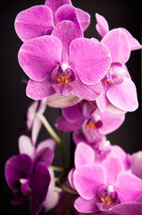 Pink orchid on a black background - 2